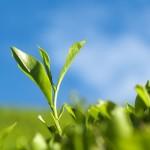 Matcha gemahlener grüner Tee
