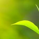 Matcha Informationen Pflanze Tee