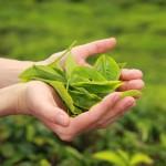 Inhaltsstoffe in Matcha Blättern