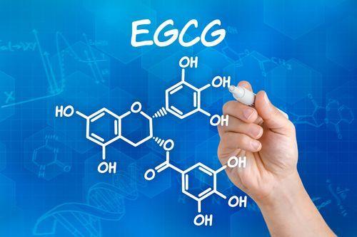 Studien über Matcha speziell zu EGCG