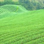grüner Tee aus japanischen Anbau