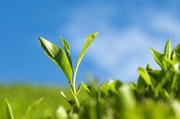 Matcha Grüntee aus Japan Pflanze mit Himmel