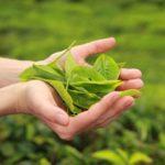 Grüntee Teeblatt