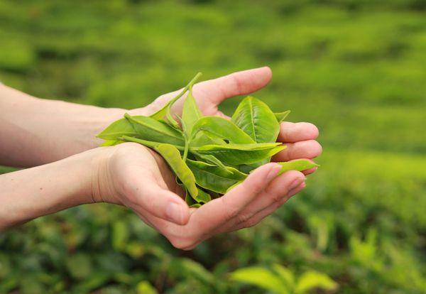 Teeblätter des japanischen Matcha Grüntees