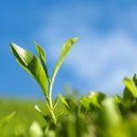 Teepflanze mit japanischen Grüntee